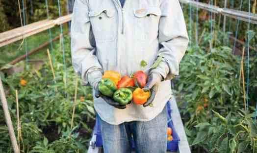 زراعة الفلفل الملون في الصوب الزراعية