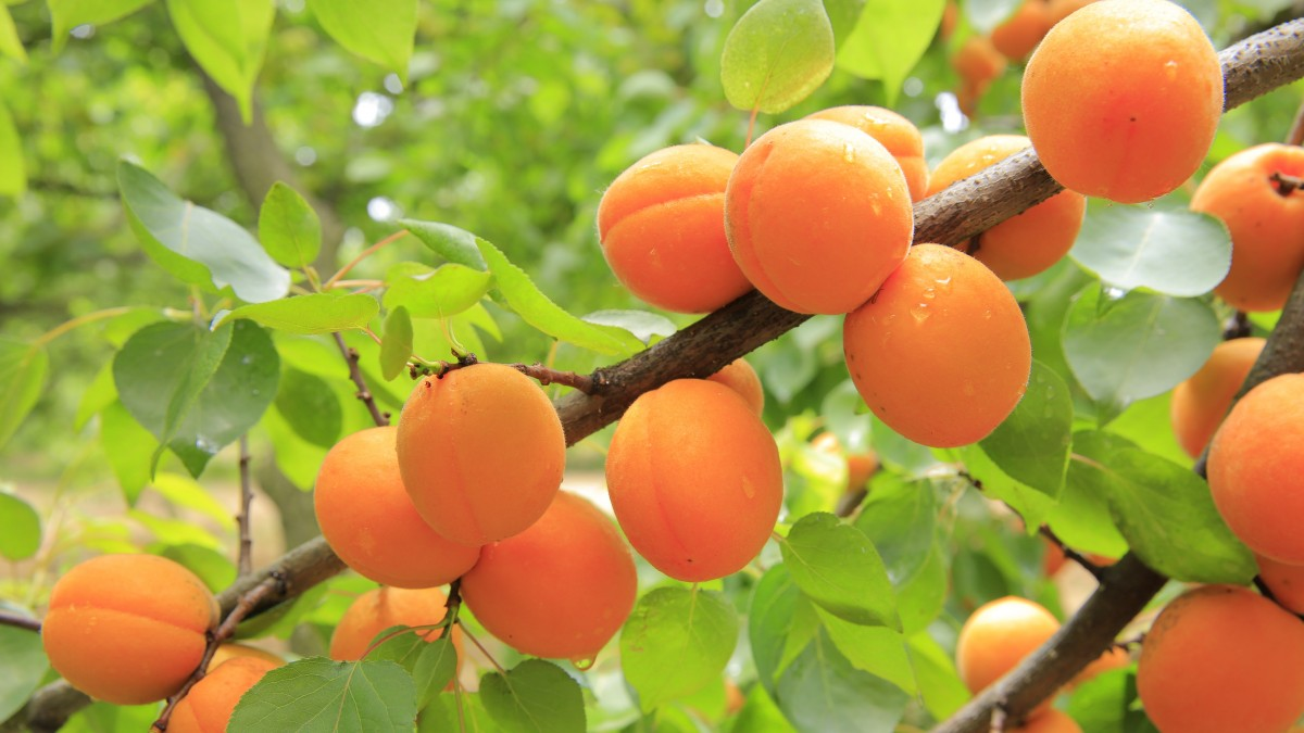 Apricots ripening on a branch