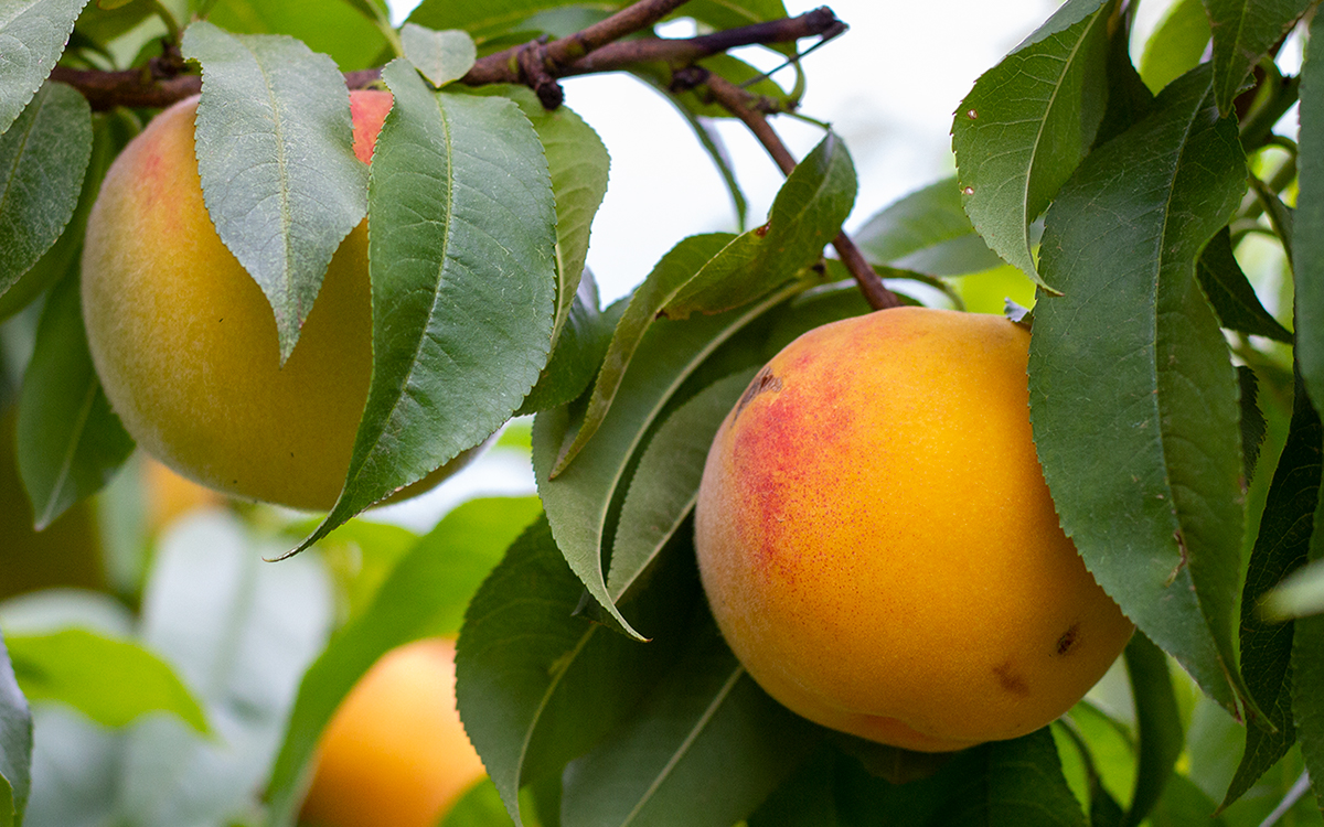 Yellow clingstone peaches on the tree