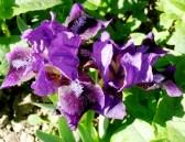 Dwarf bearded iris