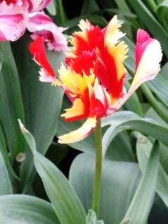 tulips (7)