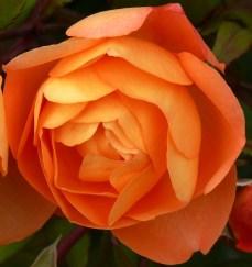 orange Bodnant