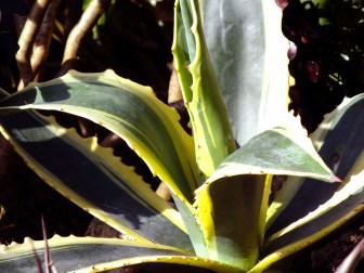 Agave americana var. marginata