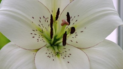 Lily in the Glasshouse
