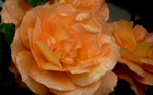 Roses and raindrops