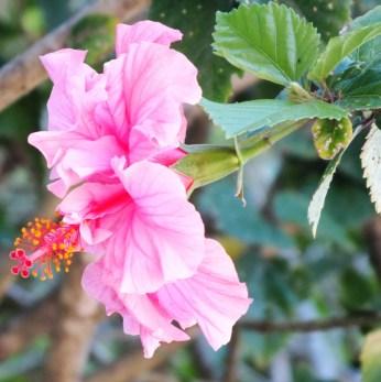 double hibiscus 2