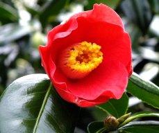camellia (8)