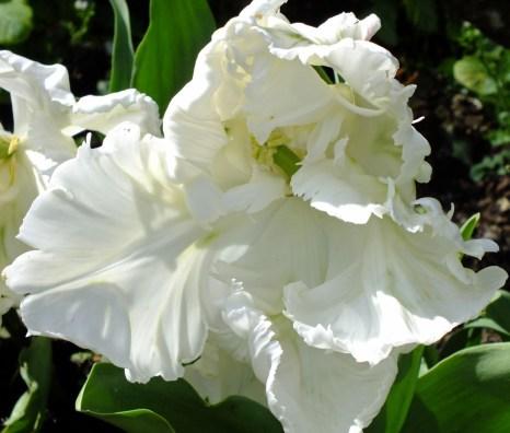 Pure white tulip