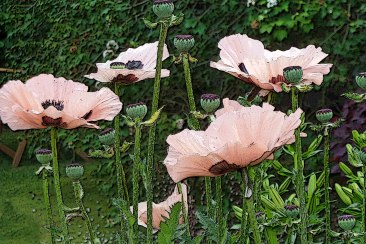 Papaver orientale 'Mrs Perry'