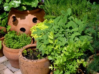 Herbs in terracotta containers