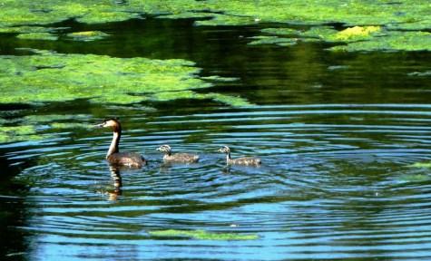 Shoveler Duck and ducklings