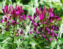 Cleome - spider leg or spider flower