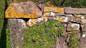 Violets in the stone wall