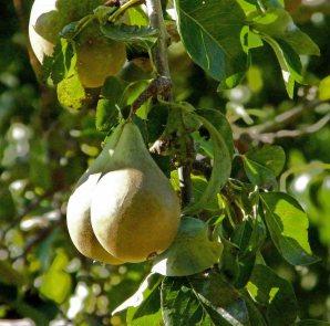 kent-pears-(2)
