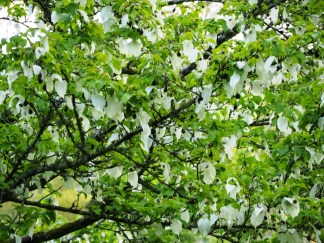 Pocket Handkerchief Tree - Davidia involucrata
