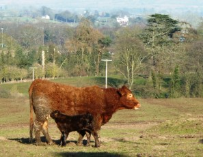 newly born calf and her Mum.