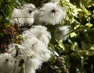 Fluffy Seed Heads