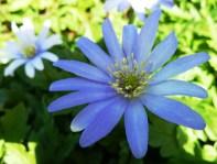 Anemone Blanda (blue)