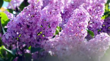 Lilac (May)