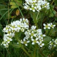 Danish Scurvy Grass