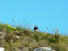 A pied wagtail keeping watch