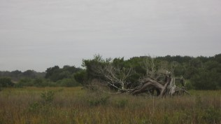 A crazy tree in the marsh.