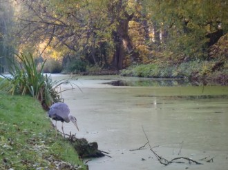 A heron fishing in the Essenburgsingel
