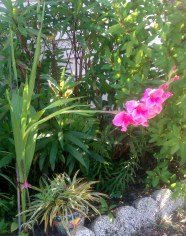 Pink Gladiolus (Full view)