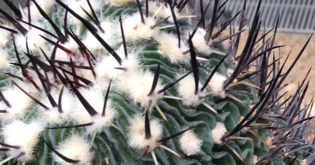 Fuzzy Wavy Cactus US Botanic Garden