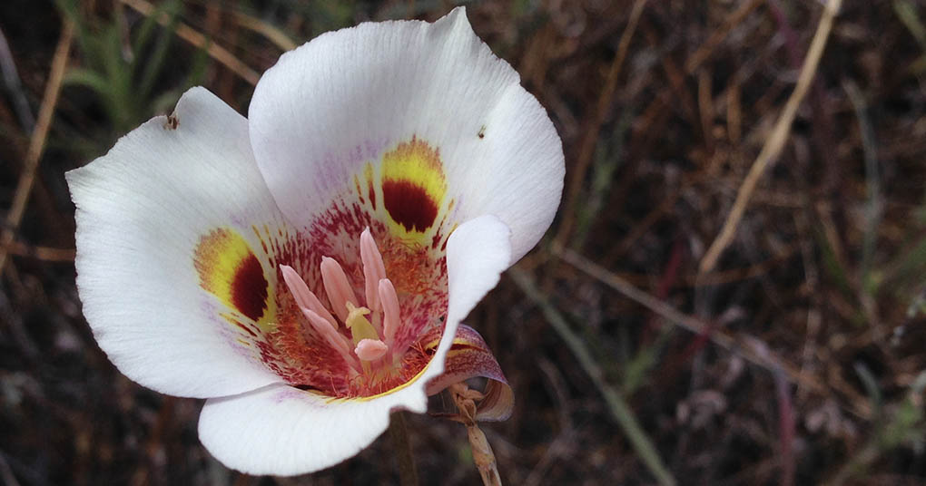 Calochortus striatus Flower Stile Ranch San Jose CA