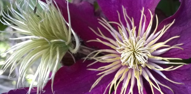 Clematis Flower and Seeds Montara CA