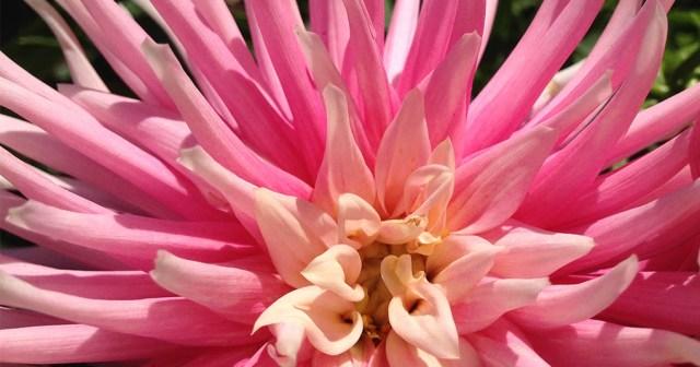 Pink Cactus Dahlia Palo Alto CA