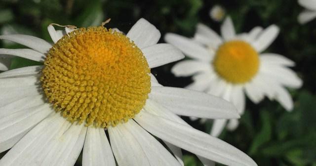 Daisy Montara CA Garden