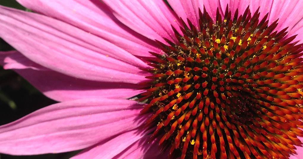 Echinacea Palo Alto CA Garden