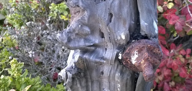 Old Wooden Fence Post with Poison Oak Montara CA