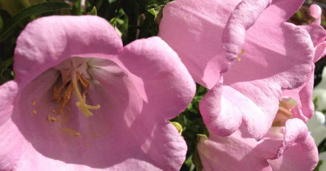 Pink Flowers Unknown Type, Elizabeth Gamble Garden Palo Alto CA