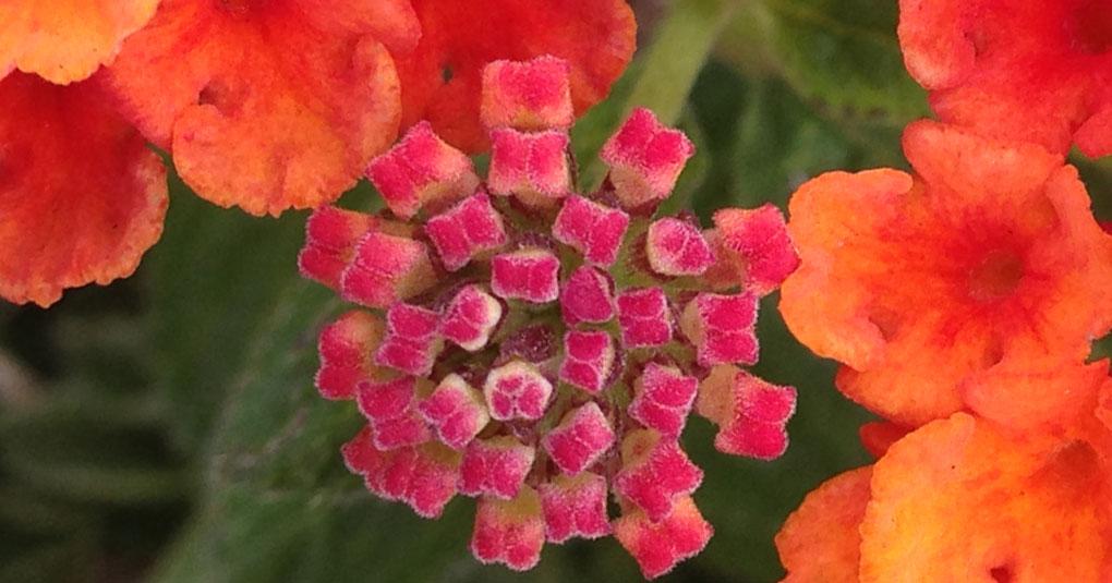 Lantana Flower Buds small life details