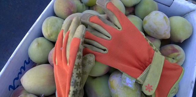 Work Gloves on Green Peaches, Gilroy CA