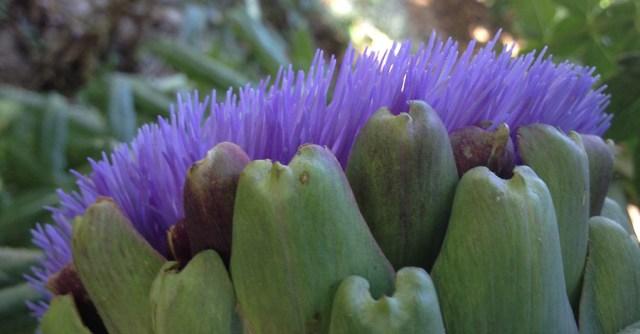 Artichoke flower Moss Beach CA