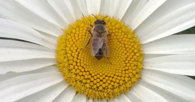 Bee on Daisy Montara CA