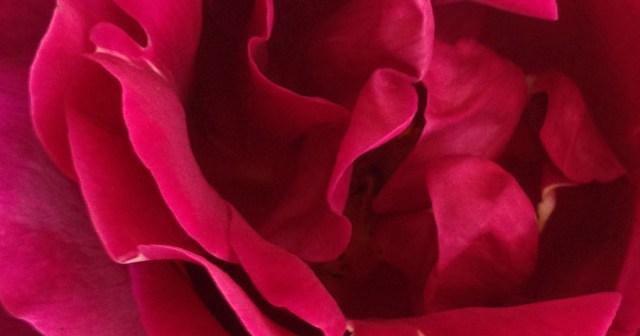 Rose Closeup Montara CA small life details