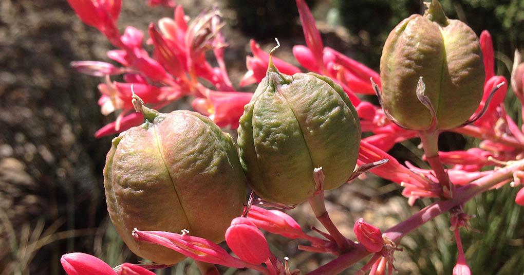 Hesperaloe Seed Pods Las Vegas NV