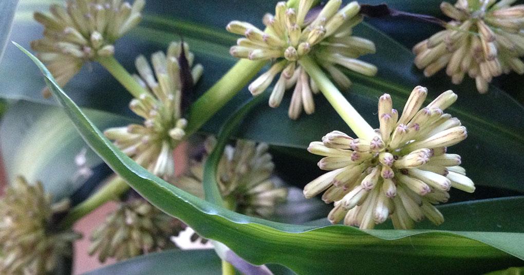 Draceana Flower Buds Montara CA small life details
