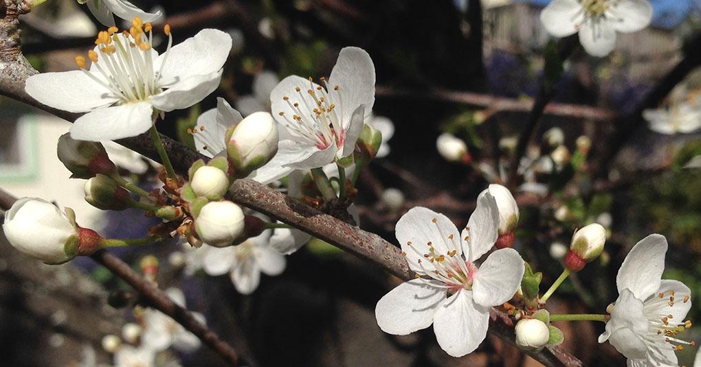 Plum Blossoms Montara CA small life details
