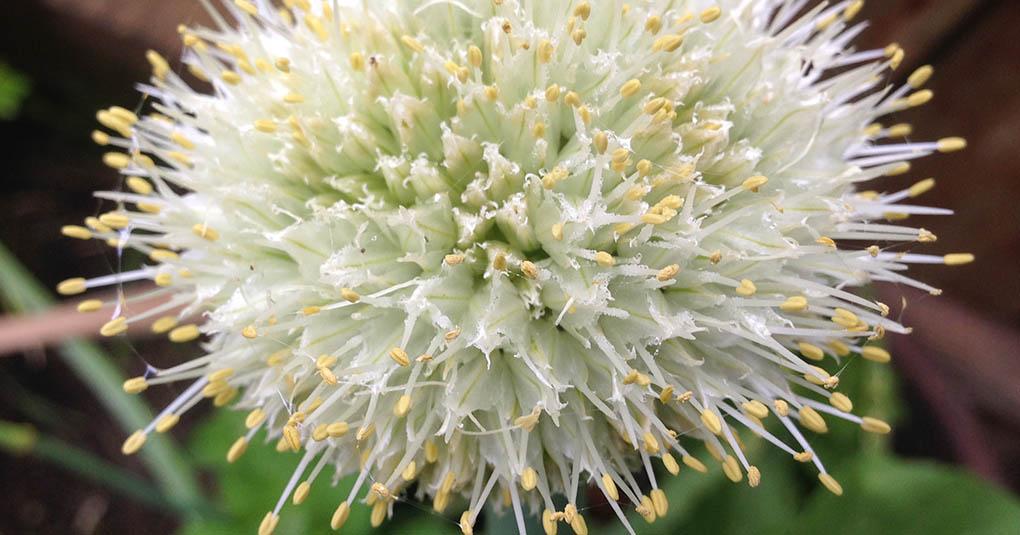 Onion Flower Montara CA Garden