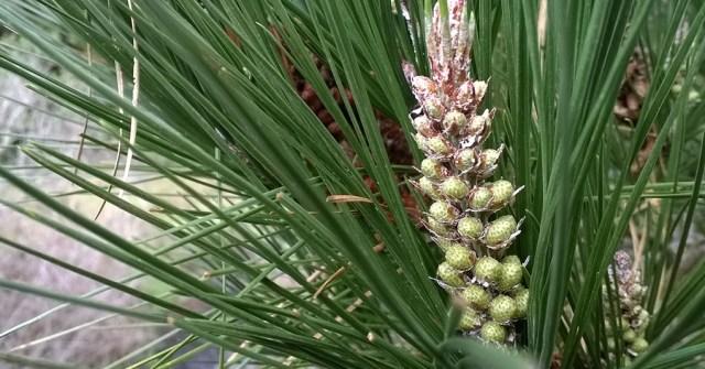 Pine Flower Buds Montara CA
