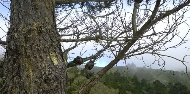 Pine Tree Silhouette Montara Mountain CA