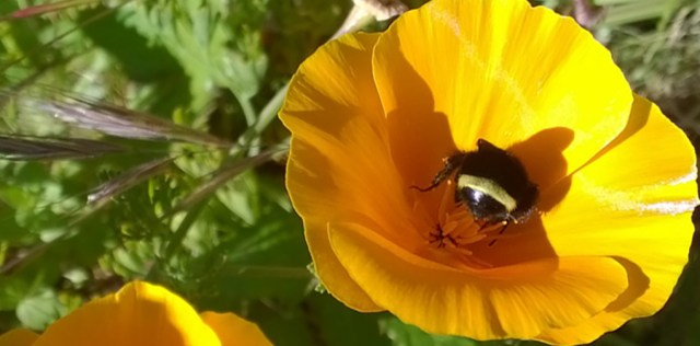California Poppy with Bumblebee Montara CA