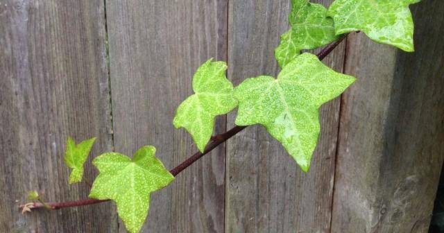 Ivy on Fence Montara CA