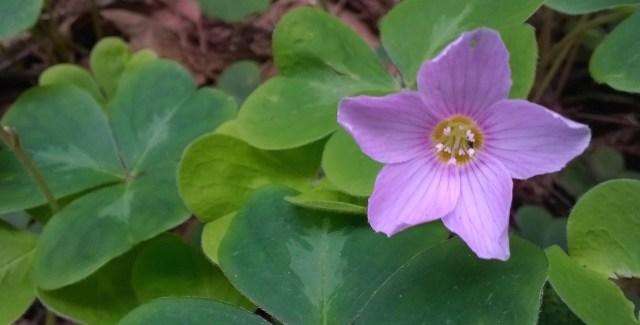 Sour Grass Flower Montara CA Garden